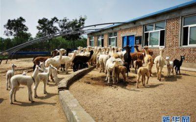 澳洲苏武来黄土高原养羊?这位澳大利亚人图什么?协助农民养羊致富
